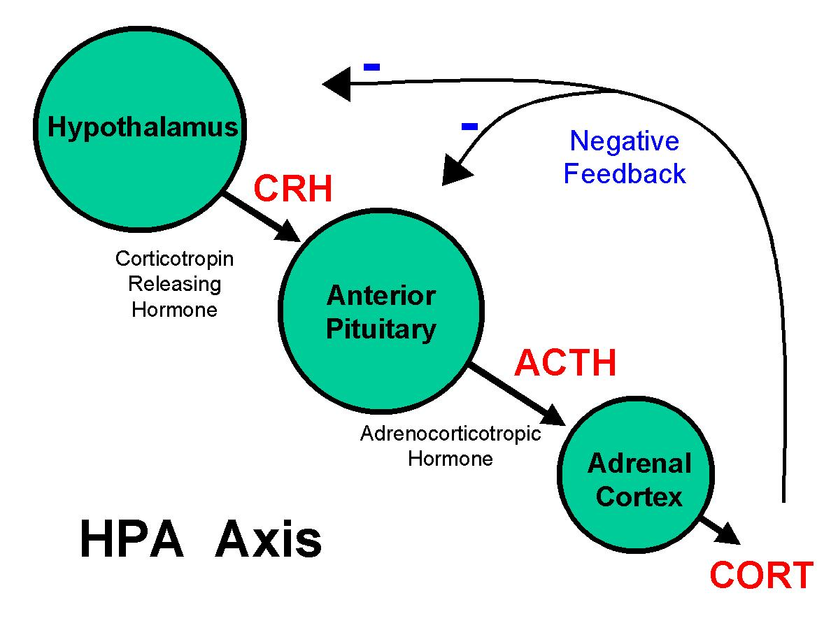 How Do Various Cortisol Levels Impact >> Cortisol And Its Effects On The Body Alivebynature All About Nad
