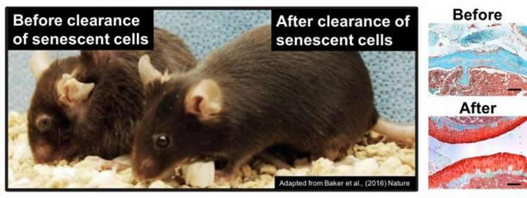 Senolytic drugs clear senescent cells in mice