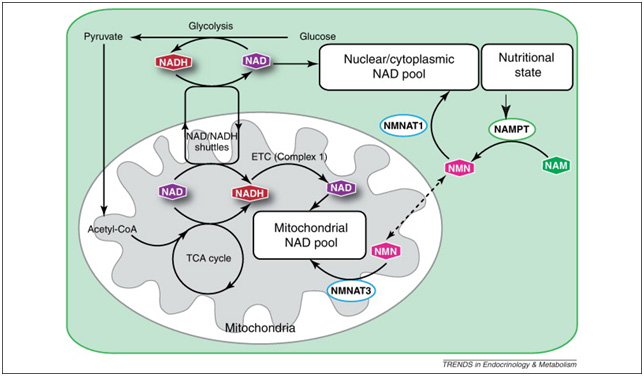 Do NMN and NAD+ cross the cell membrane? | Alivebynature - Evidence Based Reviews